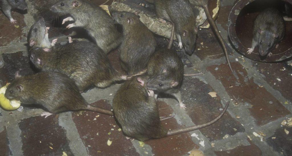 уничтожение крыс в Нижневартовске